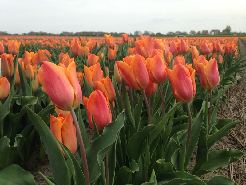 Tulips, The Netherlands