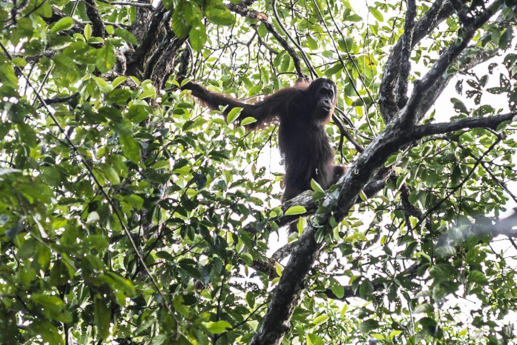 Orang Hutan in the Kinabatanga forest